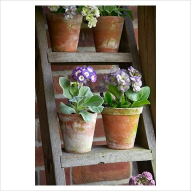GAP Photos - Garden & Plant Picture Library - Auricula 'Lavender Lady' (single) and Auricula 'Edith Major' (double) on ladder display - GAP Photos - Specialising in horticultural photography