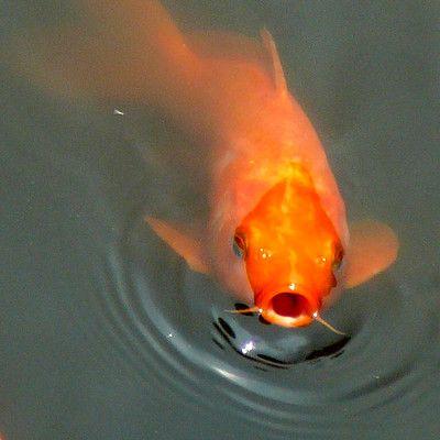 Какая опасная рыба дышит атмосферным воздухом? электрический угорь! Электрические угри живут в болотных водах бассейна Ориноко. Они хорошо приспособлены к этой среде с малым количеством кислорода и дышат атмосферным воздухом благодаря специальному органу, который находится в ротовой полости. Примерно каждые десять минут они выныривают на поверхность, чтобы сделать вдох.