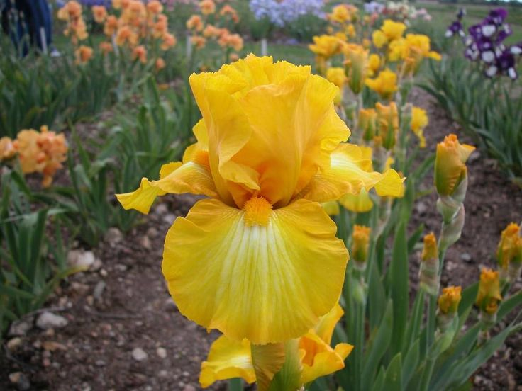 Photo of Tall Bearded Iris (Iris 'Gold Galore') uploaded