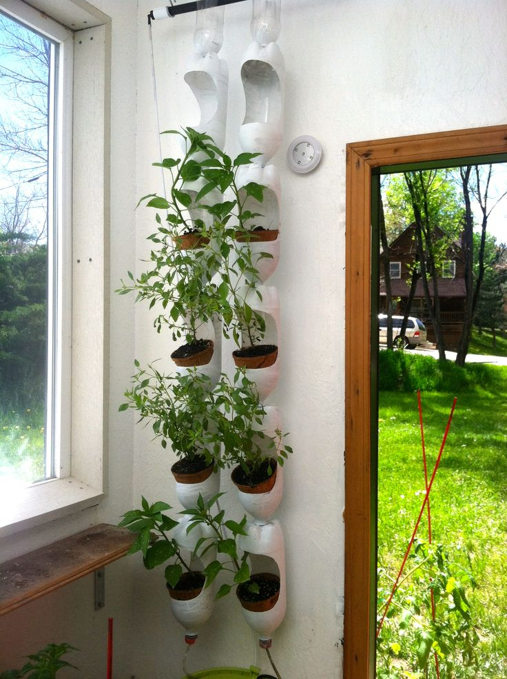 Plenty of basil growing in vertical garden made out of recycled soda bottles