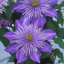 From Paradise Garden:   Lilac-blue five-inch flowers are the showcase of this clematis that begins blooming in June and reblooms through September.