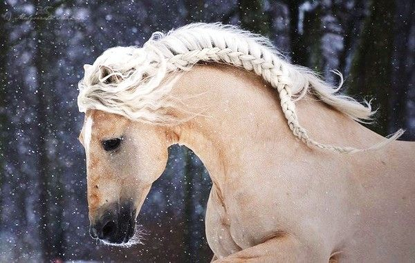 Love to braid smokes mane like this :)  @Amanda Addison ...you'll have to learn this!