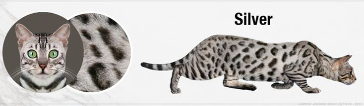 Silver Bengal Cat Colors