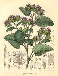Burdock Root - Herb Uses, Health Benefits and Side Effects