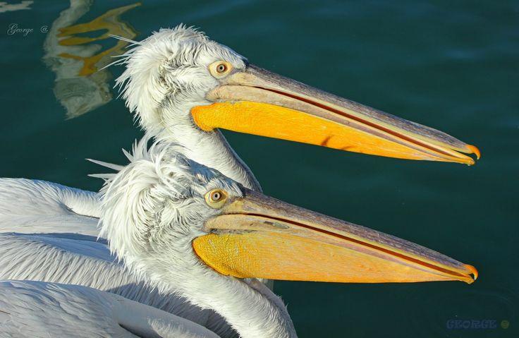https://flic.kr/p/EjSRwY | Birds in Greece - Pelecanus in Love |  #πουλιά #πτηνά #bird #birds #life #wild #wetland #Greece #Flight #flying #Beautiful #Nature #world  #υγροβιότοπος #πετάω #φύση #Greece #Ελλάδα #Macedonia #Photography #George  #eyes #@ #papaki #BirdsinGreece #visitgreece #greekphotographers #europeanphotography #naturephotography #sea #θάλασσα #water #πελεκάνος #πελεκάνοι #Αργυροπελεκάνος #Pelekanos #Pelecanus #onocrotalus #crispus #Ροδοπελεκάνος #George  #@ #©