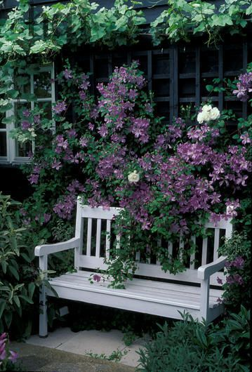 Clematis - stealing the show from a charming wood bench...