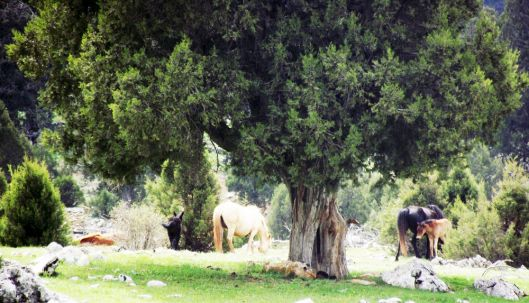 Isparta Sütçüler'deki Tota yaylasındaki platolarda yaşayan yabani atlar için ardıç ağaçları doğal bir sığınak