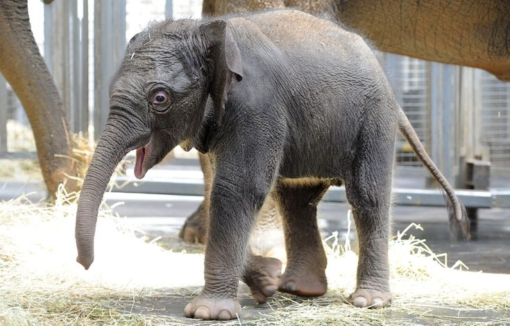 This baby elephant is 7 days old. Too cute