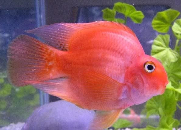 tropical friends parrot table Blood Parrot Fish Bloody Parrot Blood ...