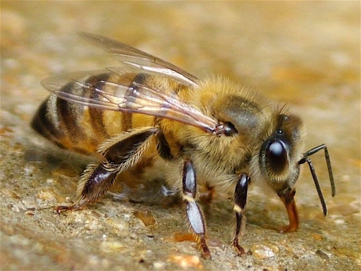 bee | Identifying a bee : For education : ... : The Laboratory of Apiculture ...
