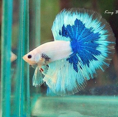 Male super fancy dragon giant halfmoon betta quality aaa for Biggest betta fish