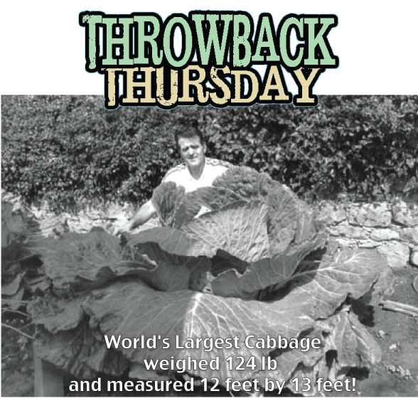 Its Throwback Thursday, time to look at the good things in the past. World's Largest Cabbage. Bernard Lavery knows how to grow things. Giant things. In fact, he holds ten or so world records for heaviest fruits and vegetables. This one above is the world's largest cabbage, which weighed 124 lb and measured 12 feet by 13 feet!  #TBT #FLMKnysna #Vegetable #Largest