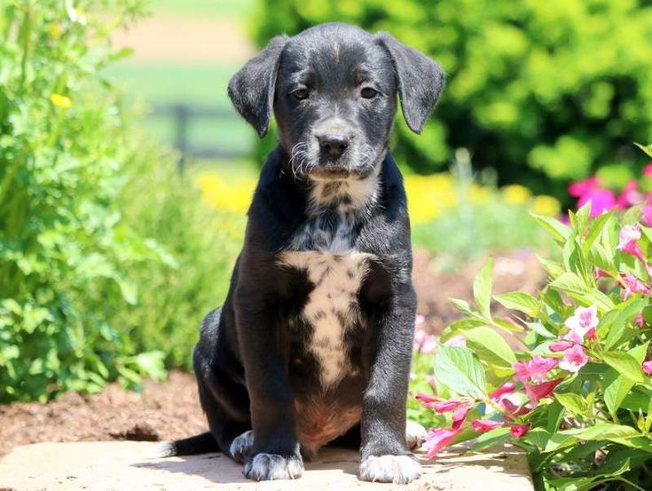 Dogs And Puppies For Sale Adoption in 2020 Boxer lab mix