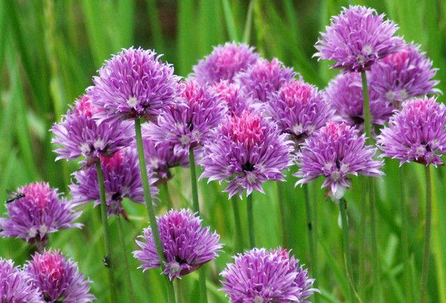 Wild Purple Flowers up close