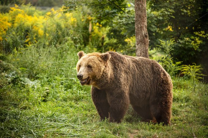 European brown bear by Grafvision photography on @creativemarket