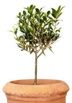 Get tips for growing olive trees indoors. Find out how to grow and care for a dwarf olive tree as a house plant, and what you need to know about pruning olive trees.