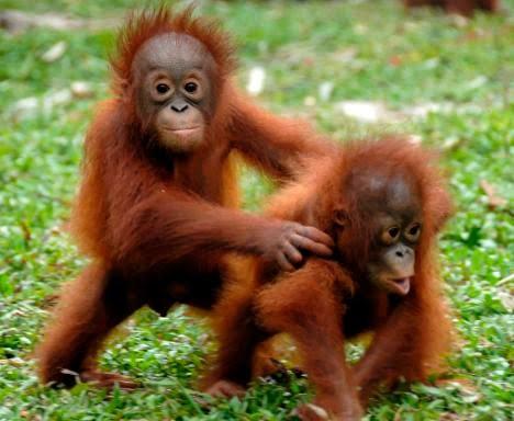 11 Best Cute Orangutans Images On Pinterest Orangutans