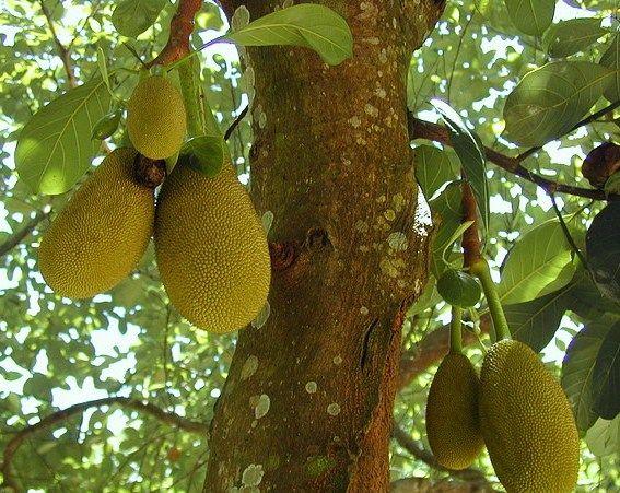 groentesoorten, Kos is een veel gegeten boomvrucht, groeit aan de stam van de boom wordt gelijk aan rijst of aardappels als basis gegeten. De jongere vrucht Polos wordt als curry gegeten, de overrijpe vrucht heet Jackfruit Sri Lanka