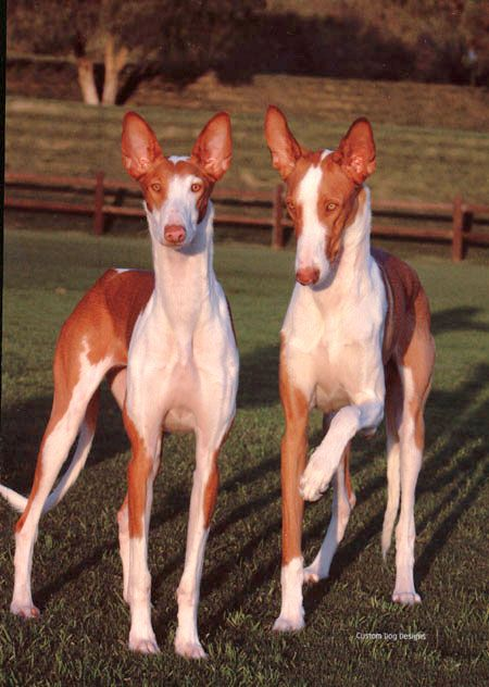 "The Ibizan Hound...on my ""doggie bucket list.""  Six foot vertical leap and the only sighthound that also tracks by scent!"