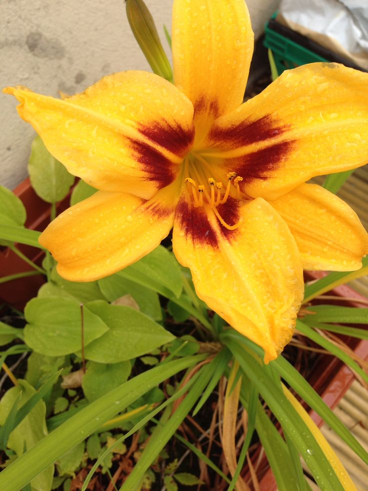 Day lily, rooftop, July 2014