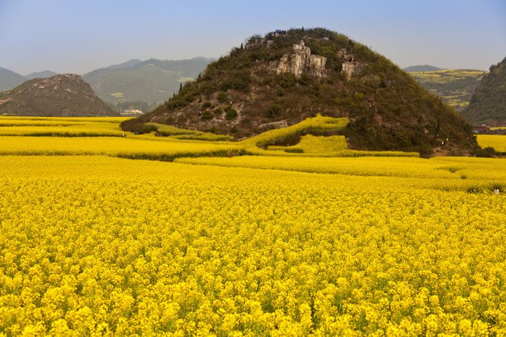Canola Fields Quotes: 25+ Best Ideas About Canola Flower On Pinterest