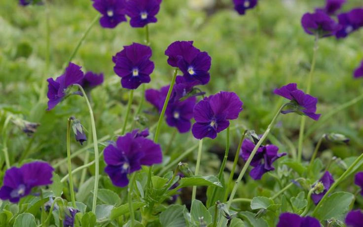 Viola cornuta 'Roem van Aalsmeer' - a good Dutch variety with strong purple flowers produced over a very long period. A healthy plant with vigour.
