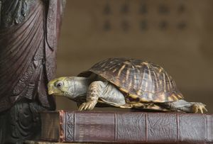 Which Direction Should the Feng Shui Tortoise Face?: There are many feng shui tortoises with specific designs on their back, or with additions, such as feng shui coins to attract more money, for example.