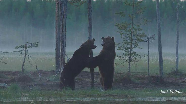Kuhmossa juhannusyönä kaksi karhua yritti selvittää kumpi on vahvempi. Photo Joni Valkiala
