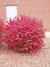 dwarf burning bush- want some of these in front of my house