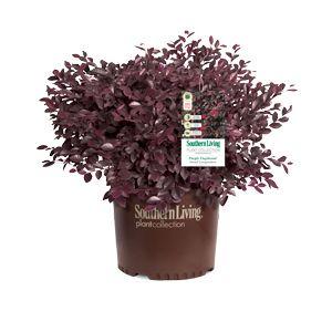 Purple Daydream® Dwarf Loropetalum 2-3' H by 3-4' W