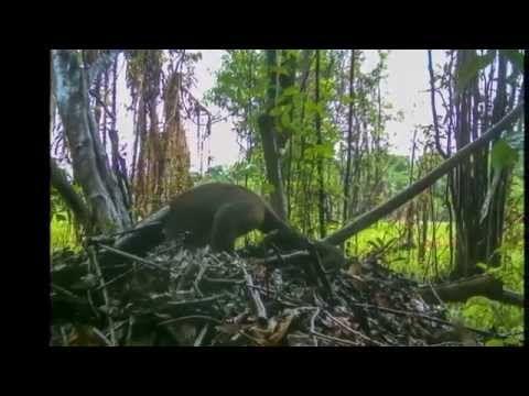 Imagens inéditas revelam macacos-prego usando ferramentas para roubar ovos de jacarés | Curiosidade animal