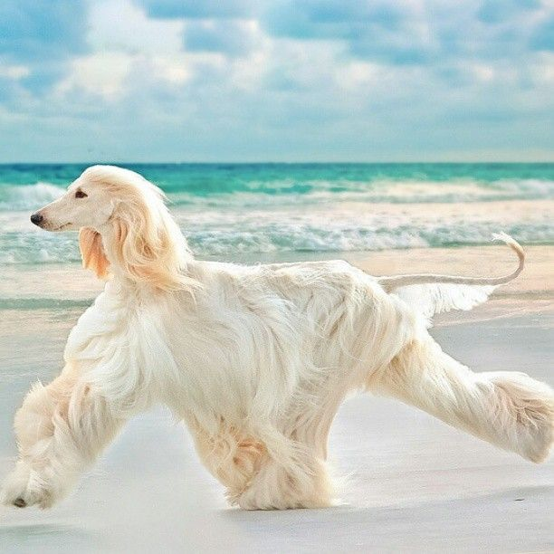 work it  [Afghan Hound]