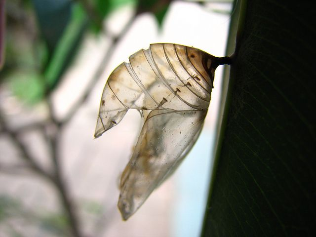 another empty chrysalis from an Australian Crow butterfly