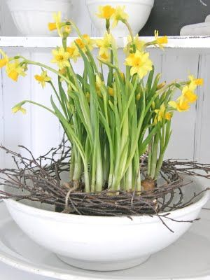 "Daffodils springing from a ""crown of thorns""...nice Easter centerpiece idea!"