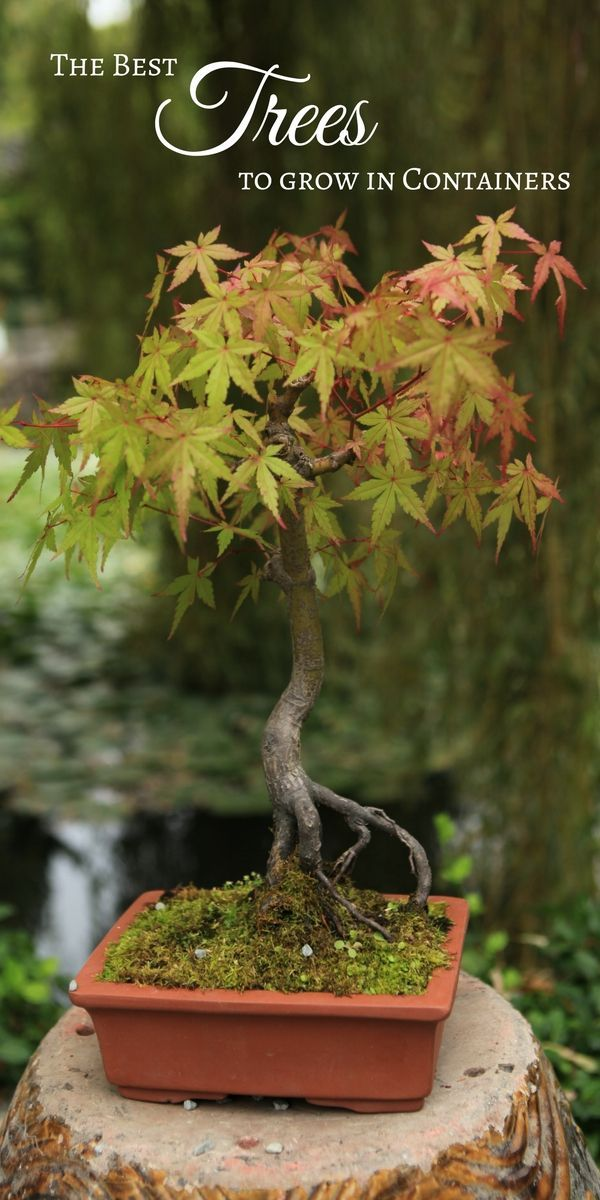 Growing trees in containers is an easy way to add a variety of color, texture, and size to your outdoor garden or patio space, as well as an effective solution for small-space gardens that don't have the room for full-sized trees. Plus, trees grown in con