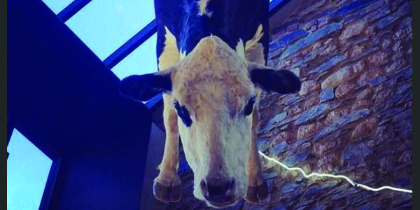 petition: Australian Restaurant Hangs Cow From Ceiling / https://www.thepetitionsite.com/takeaction/552/793/312/