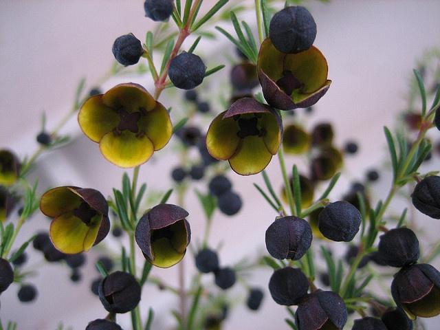 The most intense, sweet fragrance...Boronia megastigma