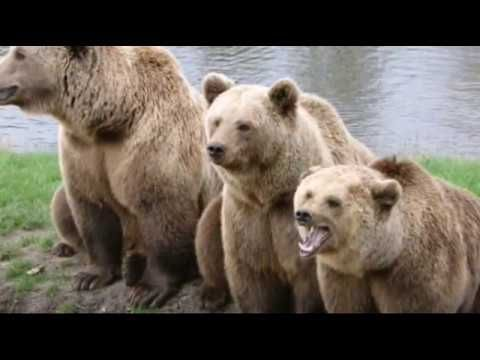 Bear Wallpaper is a collection of the best bear pictures for your smartphone.