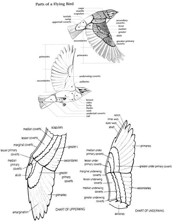 901259 also Nature likewise CrabReprO R likewise Fiddler Crab Diagram furthermore Htm. on spider morphology