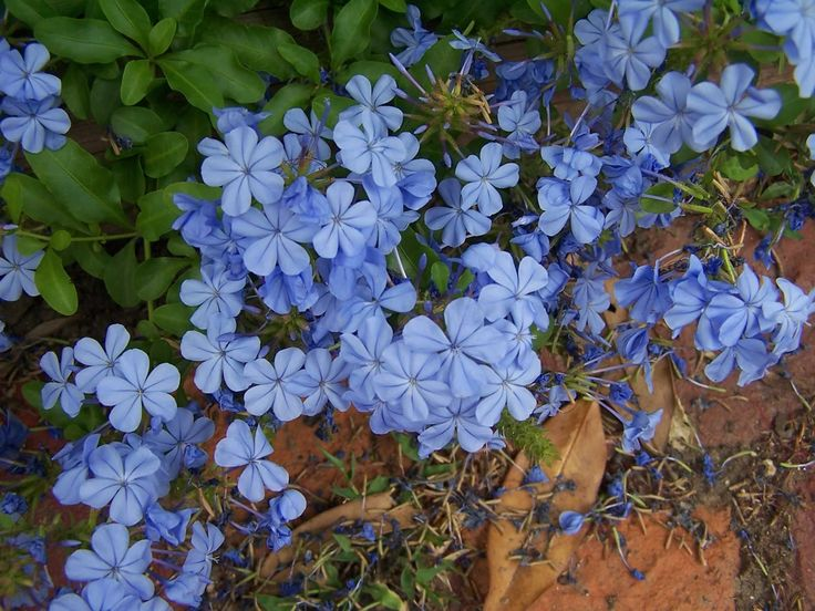 Plumbago There Are Of 10 20 Species Flowering Plants In The Family Plumbaginaceae Blue Plumbagolight Flowerserfly