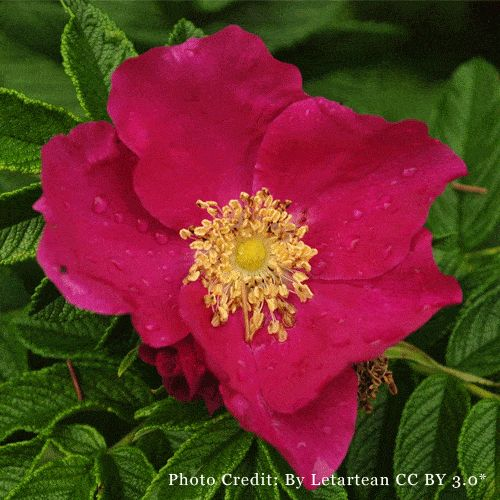 Rosa Rugosa Seeds (Rose hips). #rose #garden #flowers