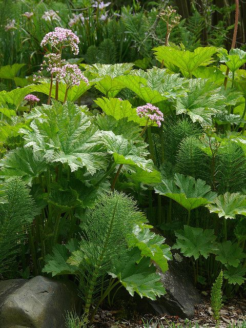 Darmera peltata -  Easily grown in average, medium to wet soils in part shade to full shade. Noteworthy Characteristics - Umbrella plant is thick-rhizomed perennial which typically grows 3-5' tall and is native to mountain stream banks and woodlands from southwestern Oregon to northern California
