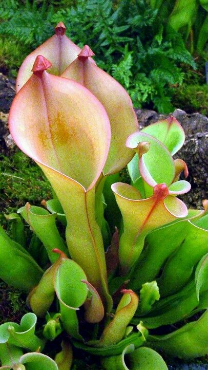 maybe throw in some weirdo flowers like this pitcher plant for some green and added interest. probably $$$$...