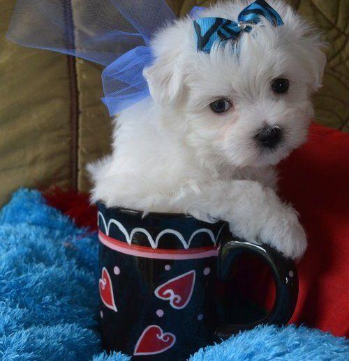 cuccioli di micro maltese per adozione ( regalo ) Adorabili cuccioli di Micro maltese femminucce e maschietti disponibili per l'adozione gratuita i cuccioli sono