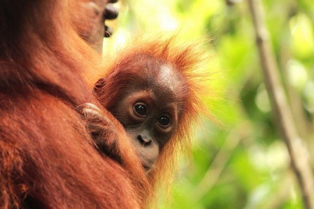 Jungle trekking with Orangutans - Bukit Lawang, Sumatra