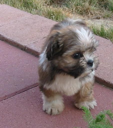 Yorkie-Apso : Mix of Yorkshire terrier and Lhasa-