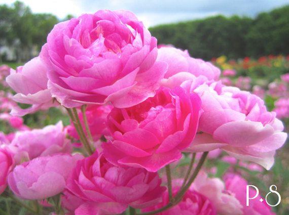 Bright Pink // 4x6 5x7 8x10 11x14 Fine Art Print by PetalAndSprig