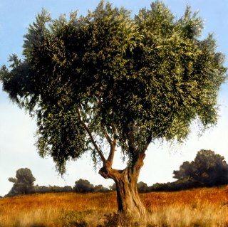 Thomas Darnell_Olive Tree_120 x 120 cm