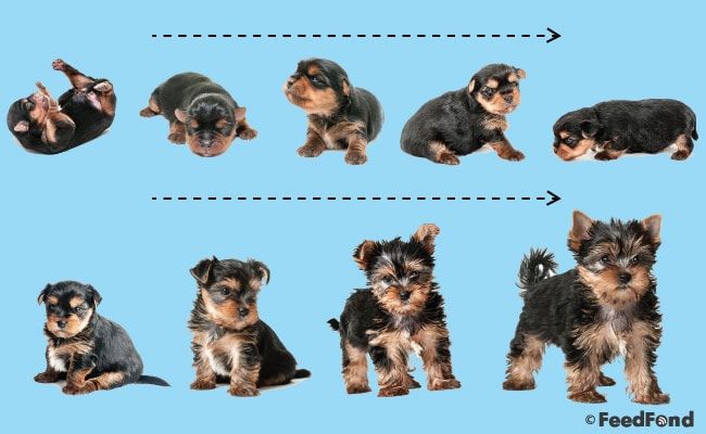 Puppy Development Growth Chart A Complete Guide For 2020