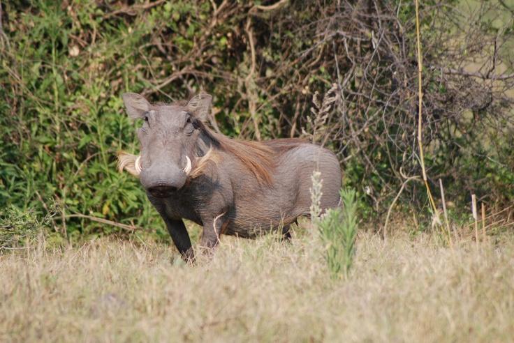 Warthog, Etosha, Namibia.